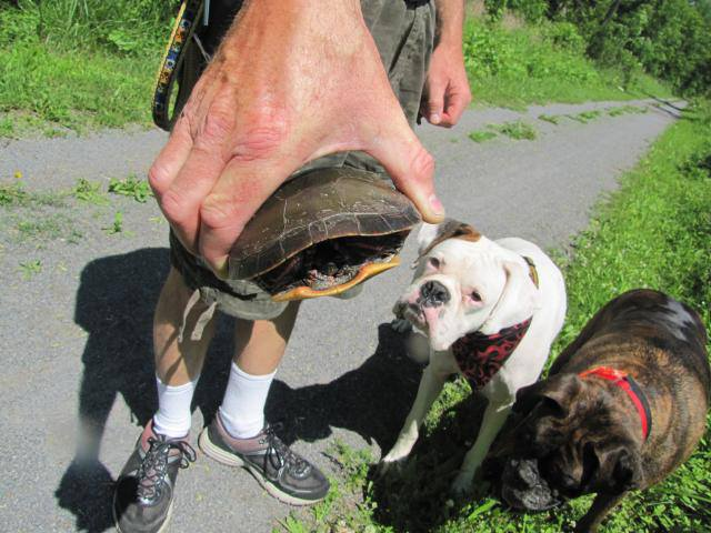 Turtle crawling across path, dogs looking on