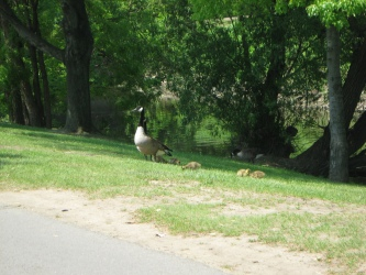 Erasmus Corning Riverfront Park, family of tame geese in the park