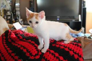 spock-kitten-3