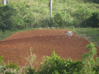 Farmer plowing with oxen to produce tobacco for cigars.
