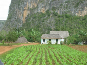 Cuban farm at the base of a mogote, banana trees in the backyard, tobacco field in front (a more affluent farmer).